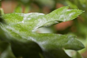 Pilzbefall an Pflanzen
